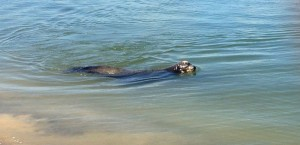 Resident Sea Lion, Point Loma, La Playa