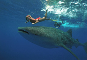 The Whale Shark Magic Carpet Ride