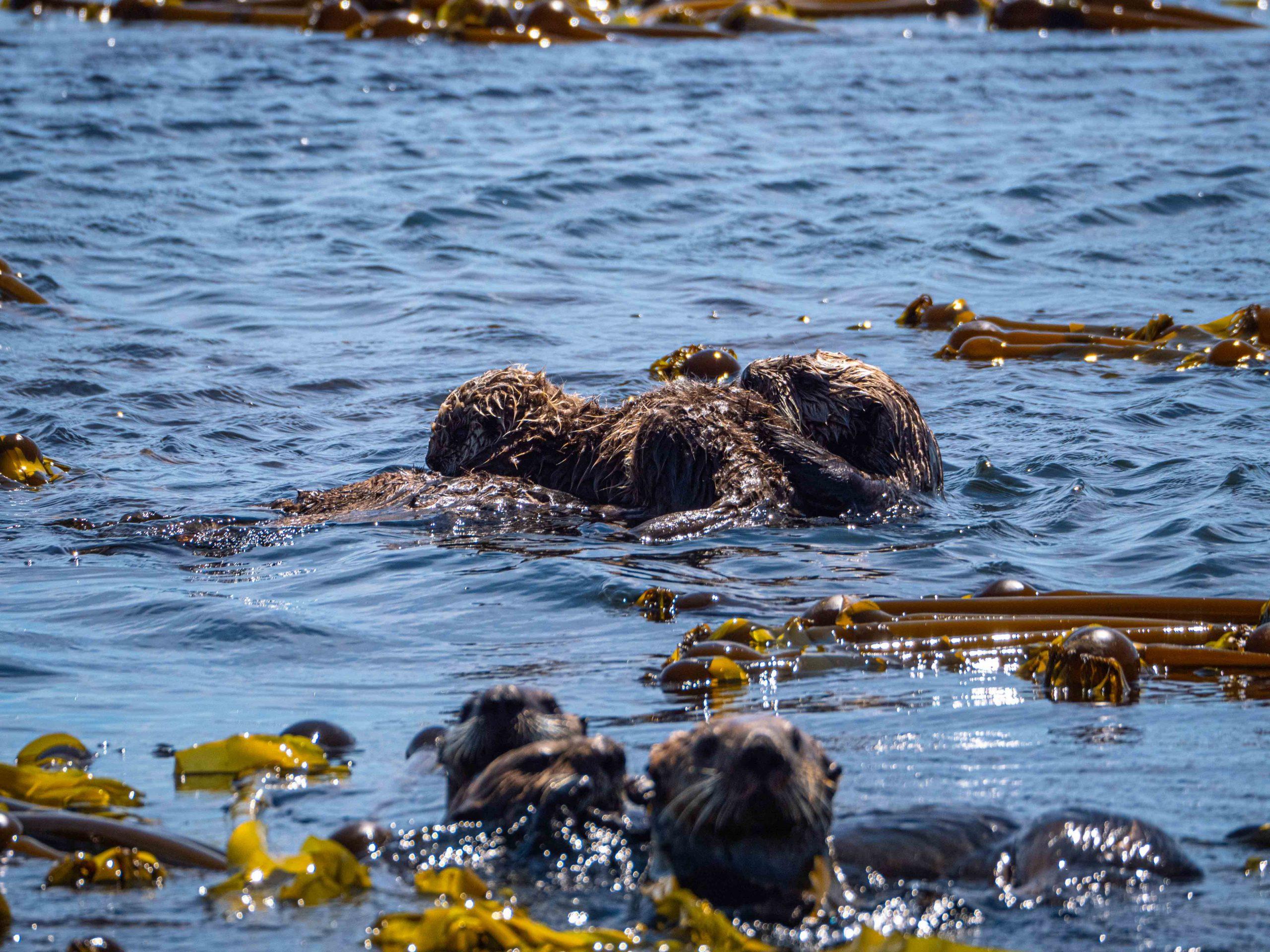 sea otter in kelp bed